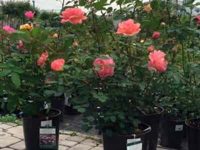 выбрать саженец розы