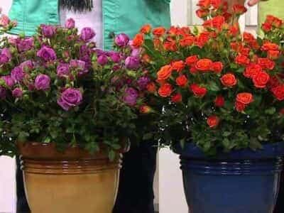 миниатюрные розы на участке